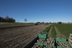 On the farm, potato harvest, Ås, Akershus, Norway (lacafferata) Tags: potatoes field harvester soil furrows rows redclover boxes organic farming
