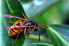 DSC08018 (Argstatter) Tags: wespe insekt makro