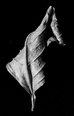 Sidelit leaf (LSydney) Tags: macromondays sidelit leaf macro bw blackandwhite