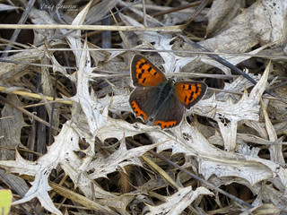 Small copper on dry thistle leaves.