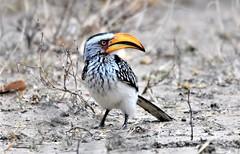 Yellow Billed Hornbill. (pstone646) Tags: bird nature animal fauna hornbill africa wildlife feathers southafrica safari yellow