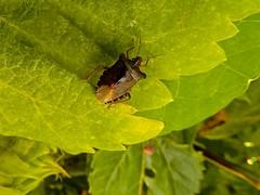 Power-dressing for Beautiful Bug Butt Thursday (violetchicken977) Tags: beautifulbugbuttthursday shieldbug forestbug pentatomarufipes