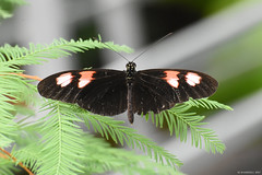 Butterfly 2017-147 (michaelramsdell1967) Tags: beauty color nature macro animals tree bokeh background beautiful closeup orange butterfly animal pretty green insect black vivid insects wings conifer pine zen detail needles vibrant bug butterflies bugs upclose