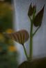 XX20170725a9633Bias-1 stop.jpg (rachelgreenbelt) Tags: ordersolanales usa eudicots familyconvolvulaceae greenbelt northamerica midatlanticregion ouryard ipomoeaall ipomoeabatatas ipomoeabatatassp maryland americas convolvulaceae convolvulaceaefamily magnoliophyta floweringplants kumara kumera polemoniales solanales solanalesorder spermatophytes sweetpotato tuberousmorningglory yam ghigreenbelthomesinc colorswhiteyellowgreen colorgreen