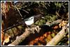 Pie bavarde 171015-02-P (paul.vetter) Tags: piebavarde picapica corvidé oiseau eurasianmagpie urracacomún pega elster