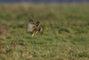 Velduil - Asio flammeus-3561 (Theo Locher) Tags: shortearedowl velduil sumpfohreule hiboudesmarais asioflammeus birds vogels vogel oiseaux belgium belgie copyrighttheolocher