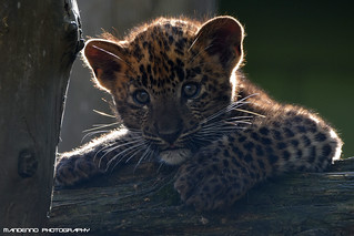 Sri lanka panther cub - Best Zoo