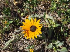 P9160011 West Coast National Park Flower (Joanna P Dale) Tags: westcoastnationalpark flowers southafrica omdem1 mk1 olympus 35mmzuiko 35mmmacro