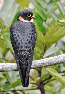 Falco rufigularis