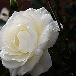 2017-10-24 Villers (56)white rose in dew thumbnail