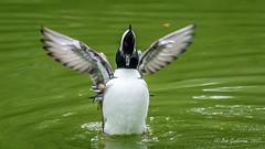 Hooded Merganser (Bob Gunderson) Tags: birds california divingducks ducks goldengatepark hoodedmerganser lophodytescucullatus mergansers northerncalifornia sanfrancisco stowlake