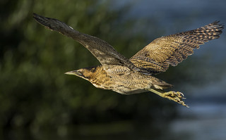 Bittern - Best wings in the lake?