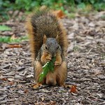 Squirrels in Ann Arbor at the University of Michigan (October 3rd, 2017) thumbnail