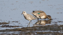 Black-bellied Plover (Pluvialis squatarola) (Tony Varela Photography) Tags: photographertonyvarela shorebird blackbelliedplover pluvialissquatarola bbpl