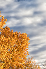 Golden Leaves and Blue Skies