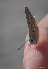 My Little Friend (Safarii) Tags: pyrenees france gr10 insect butterfly blue flying antenae wings small minibeast nature life wildlife