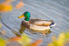 Drip a Drop. (Omygodtom) Tags: wildlife wild bird duck mallard river nikkor natural nature nikon d7100 dof nikon70300mmvrlens couple friends path npc 7dwf geographic season abstract autumn flickr color colorful colours