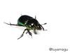 オオセンチコガネ Phelotrupes auratus (tuyamagu) Tags: geotrupidae scarabaeoidea insect entomology phelotrupes japan