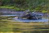 Sparrowhawk (image 3 of 3) (Full Moon Images) Tags: rspb sandy lodge thelodge wildlife nature reserve bedfordshire bird birdofprey washing bath bathing sparrowhawk