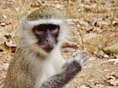 "Vervet Monkey • <a style=""font-size:0.8em;"" href=""http://www.flickr.com/photos/152934089@N02/37356326220/"" target=""_blank"">View on Flickr</a>"
