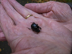 Le scarabée (103/365)