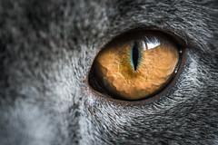 Cats Eye (WhiteShipDesign) Tags: eye predator cat look animal kitten macro feline pet beautiful mammal kitty domestic adorable close orange fur fluffy closeup pretty stare breed gray catdetail tabby young yelloweyes furry hypnotic scottish scottishfold britishshorthair