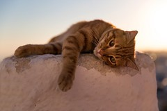 red cat relaxing (altextravel) Tags: cat kitty puss pussy feline red sunset greece greek santorini island mediterranean relax rest lay lie travel white wall village beautiful animal sun sunny portrait summer summertime vacation holiday outdoors noperson lazy laziness cute lovely adorable landscape picturesque sunlight light goldenhour