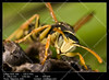 Wasp (Polistes bischoffi) (__Viledevil__) Tags: allergic animals antenna black closeup danger dangerous detail fly insect macro nature pest poisonous small sting stinger warning wasp wild wing yellow polistes animal bischoffi chiclana cádiz españa