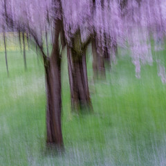 blooming cherry trees (tseehaus) Tags: homepage cherrytree blooming spring icm intentionalcameramovement impressionistic impressionism abstract abstractlandscapefotography