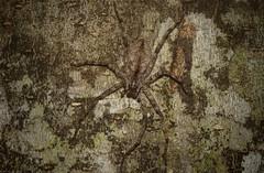 queen huntsperson (dustaway) Tags: arthropoda arachnida araneae araneomorphae sparassidae pedianaregina queenofthehuntsmen australianspiders huntsman spinne araignee spideronbark tamborinemountain sequeensland queensland australia nature