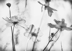 PULVIS ET UMBRA SUMUS (Irene2727) Tags: shadow light flowers transparency nature flora blackandwhite bw delicate blur blurry poetic romantic