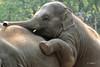 SUNAY Aziatische olifant (K.Verhulst) Tags: sunay aziatischeolifanten asiaticelephants olifanten elephants blijdorp blijdorpzoo diergaardeblijdorp rotterdam elephant olifant coth5