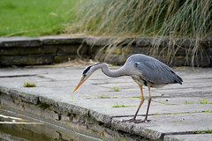 Come closer fish, big and small... I love you... (Caulker) Tags: greyheron canonspark pond fisher april 2017