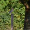 KUSA-4878 (Weinstöckle) Tags: eichelhäher vogel rabenvogel