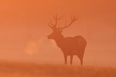 Sunrise silhouette (Hammerchewer) Tags: reddeer deer stag sunrise silhouette wildlife animal mammal outdoor