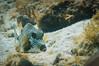 Anyone Seen My Trunk? (RoamingTogether) Tags: diving florida floridakeys ikelite ikelite68123 johnpennekamp keylargo lactophrysbicaudalis nikon nikon181053556 nikond300 pennekampstatepark reef scuba scubadiving spottedtrunkfish theelbow watersports