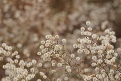 Aster Seedhead Constellation (HorsePunchKid) Tags: thehighline wildflowerfield