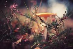 vacation is over... (christian mu) Tags: autumn fungus mushroom heathland heath distagon3514 depthoffield dof sonya7ii bokeh nature 35mm 3514 zeiss sony distagon christianmu germany westruperheide