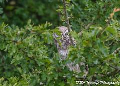 It's all in the eyes (davidrhall1234) Tags: littleowlathenenoctua littleowl owl birds bird birdsofbritain birdsofprey beak baildon countryside nikon nature outdoor outdoors wildlife world