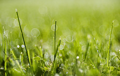 A Dewy Day. (WilliamND4) Tags: dew grass nikond750 macro meyeroptikgoerlitztrioplanf28100lens bokeh
