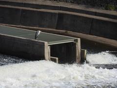 Heron, Fish Ladder, Blackweir, River Taff, Cardiff 6 October 2017 (Cold War Warrior) Tags: heron blackweir river taff cardiff butepark greyheron ardeacinerea