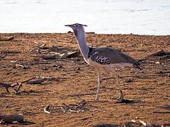 Samburu National Park - Kenya (lens buddy) Tags: samburu gamereserve kenya africa wildlife nature safari bustard koribustard ardeotiskori africanbirds