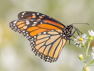 Monarch Butterfly on Fleabane
