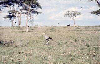 Secretary bird. Gnu and Zebra. Ndutu