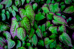 Floor of Hearts (Chancelrie) Tags: outdoor plants leaves foliage spring may may2017 pnw pacificnorthwest vancouver bc britishcolumbia