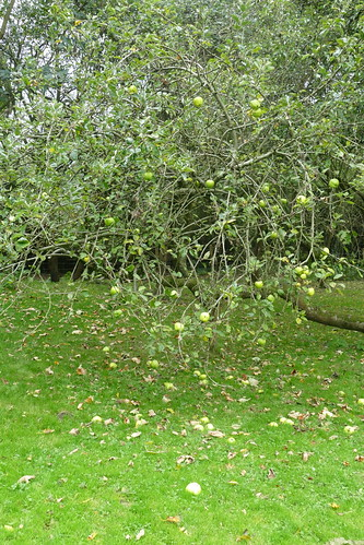 Chigwell Apple Tree