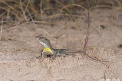 Painted Dragon (Ctenophorus pictus) (shaneblackfnq) Tags: painted dragon ctenophorus pictus shaneblack lizard reptile agamid sceale bay eyre south australia peninsula