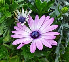 ich wünsche allen einen schönen Sonntag (mama knipst!) Tags: blume flower fleur natur leica dlux 6