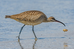 Got my eye on you! (craig goettsch) Tags: manresastatebeach avian whimbrel sandcrab ocean blue wildlife nature