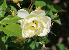 Maig_1426 (Joanbrebo) Tags: barcelona catalunya españa es parccervantes park parque parc garden jardí jardín rosa rose flors flores flowers fleur fiori blumen blossom canoneos70d efs18135mmf3556is eosd autofocus